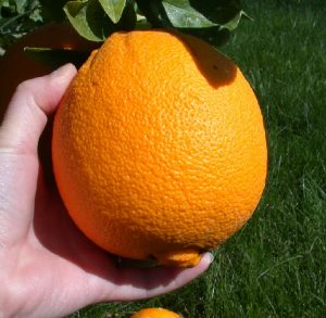 picture of an orange